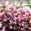 Begonia semperflorens — Stock Photo