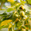 Fresh walnuts on tree — Stock Photo