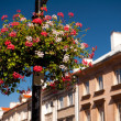 Pelargonium in city — Stock Photo