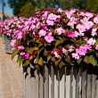 Impatiens walleriana, Busy Lizzie — Stock Photo #31340289