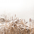 Stock Photo: Reeds in winter