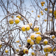 Stock Photo: Apples and snow