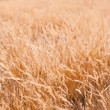 Stock Photo: Golden grass