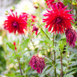 Stock Photo: Faded Dahlia