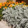 Artemisia stelleriana and tagetes — Stock Photo