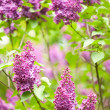 Purple lilac — Stock Photo #31549819