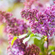 Pink lilac blooming — Stock Photo #31550567