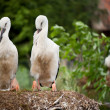 Storks in nest — Stock Photo