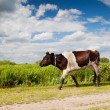 Spotted calf walking — Stock Photo #31554595