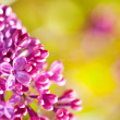 Purple lilac — Stock Photo #31555059