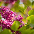 Purple lilac — Stock Photo #31556691
