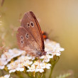 Ringlet - Aphantopus hyperantus butterfly — Stock Photo