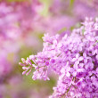 Purple lilac — Stock Photo #31562665