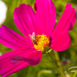 Stock Photo: Cosmos bipinnatus and bee worker
