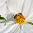Cosmos bipinnatus and bee worker — Stock Photo #31605587