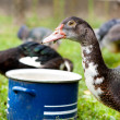 Stock Photo: Drinking duck