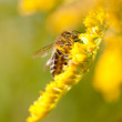 Bee on Goldenrods — Stock Photo