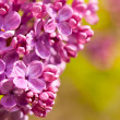 Purple lilac — Stock Photo #31873741