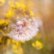 Seed head of dandelion — Stock Photo