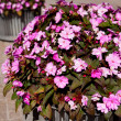 Impatiens walleriana, Busy Lizzie — Stock Photo