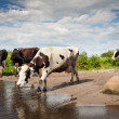Spotted cows walking — Foto de stock #31874095