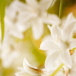 White flowers abstract — Stock Photo