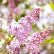 Pink lilac blooming — Stock Photo #33685105