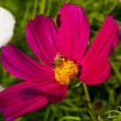 Cosmos bipinnatus and bee worker — Stock Photo