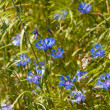 Blue cornflowers — Stock Photo