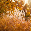 Pampas Grass in autumn garden — Stock Photo