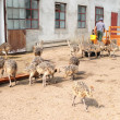 Ostrich chicks farm, Poland — Stock Photo