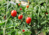Tomatoes plant in the garden — Stock Photo