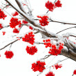 Stock Photo: Branches of mountain ash