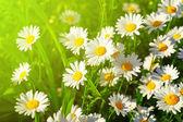 Daisy flower on green meadow — Stock Photo