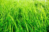 Green grass after rain — Stock Photo