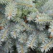 Fur-tree branches background — Stock Photo #4744870