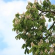 Blooming Horse Chestnut tree — Stock Photo #12626699