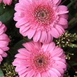 Wet pink gerbera — Foto Stock