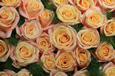 Yellow pink roses in sunlight — Stock Photo
