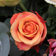 Solitaire orange rose — Stock Photo #12011220