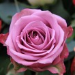 Stock Photo: Single pink rose
