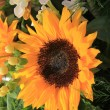 Sunflower arrangement — Photo