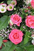 şok edici pembe güller — Stok fotoğraf