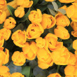 Bunch of yellow tulips — Stock Photo #12070450