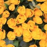 Bunch of yellow tulips — Stock Photo #12070450