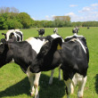 Cows on a sunny meadow — Stock fotografie