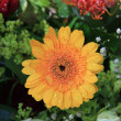 Yellow gerbera after a shower — Stockfoto