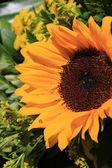 большой желтый подсолнух — Стоковое фото
