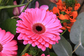 Solitaire pink gerbera — Stock Photo
