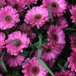 Wet pink gerbera — Stock Photo #14014466